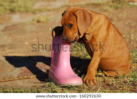 A cute little purebred Rhodesian Ridgeback hound dog puppy chewing on a pink gum boot outdoors.