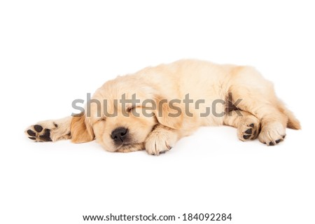 A cute little six week old Golden Retriever puppy sleeping on a white background - stock photo