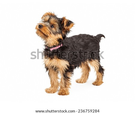 A cute little Teacup Yorkie dog standing up and to the side - stock photo