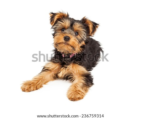 A cute little Teacup Yorkie puppy dog laying down and looking forward - stock photo