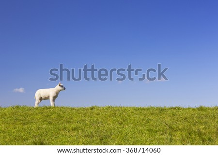 A cute little Texel lamb in the grass on the island of Texel in The Netherlands on a sunny day. - stock photo