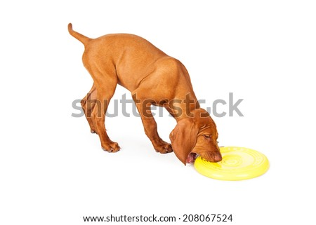 A cute little Vizsla breed puppy grabbing a yellow frisbee disc with his mouth - stock photo
