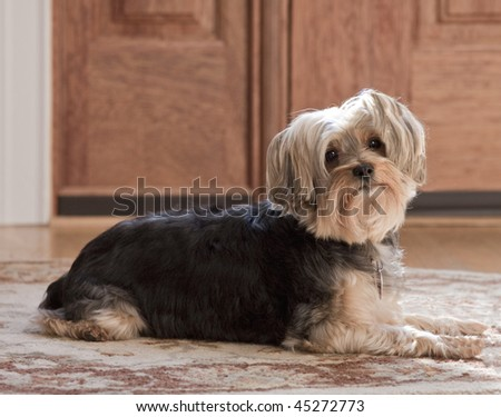 A cute little Yorkshire Terrier sitting on a rug by the front door