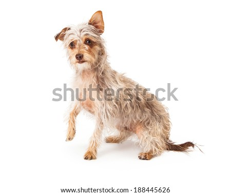 Cute Long Wirehaired Terrier Mixed Breed Stock Photo & Image ...