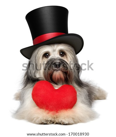 A cute lover valentine havanese dog with a red heart and a black top hat, isolated on white background - stock photo