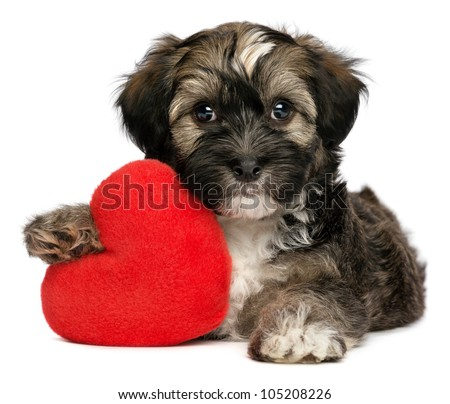 A cute lover valentine havanese male puppy dog is holding a red heart, isolated on white background