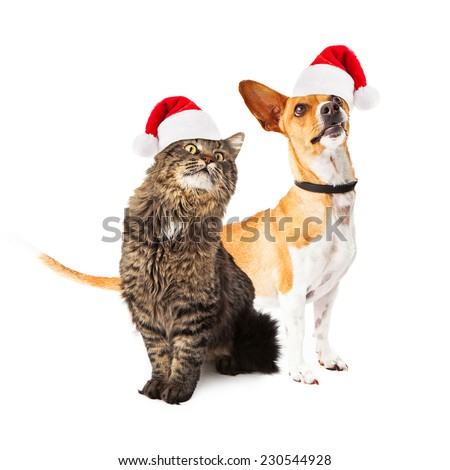 A cute medium size mixed breed dog and a beautiful long hair cat sitting together and looking up in the same direction off to the side while wearing santa hats - stock photo