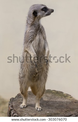 A cute meercat standing up against a plain background facing right - stock photo