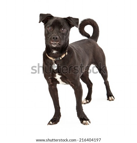 A cute mixed breed dog with a black coat looking at the camera with underbite