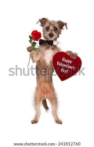 A cute mixed terrier breed dog wearing a black bow tie while carrying a single red rose and a heart shaped velvet box of chocolates with the words Happy Valentine's Day on it. - stock photo