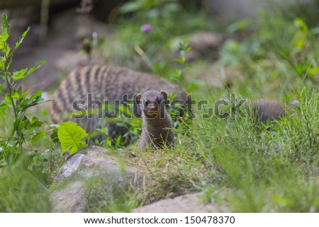 A cute mongoose baby