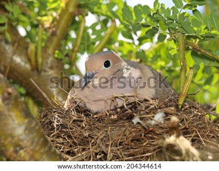 A cute mourning dove in a nest - stock photo