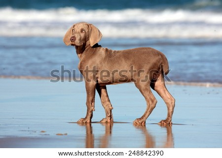 A cute new born pure bred weimaraner puppy dog in running motion with ears flapping in this side on photo taken on the beach on a beautiful summer day in the Eastern Cape, South AFrica - stock photo