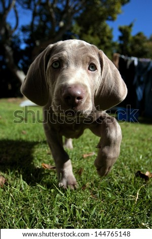 A cute new born pure bred weimaraner puppy dog investigates the camera in the gaden on a beautiful summer day in the Eastern Cape, South AFrica - stock photo