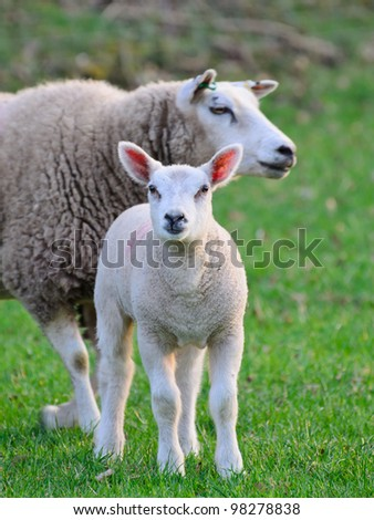 A  cute newborn spring lamb with its mother - stock photo
