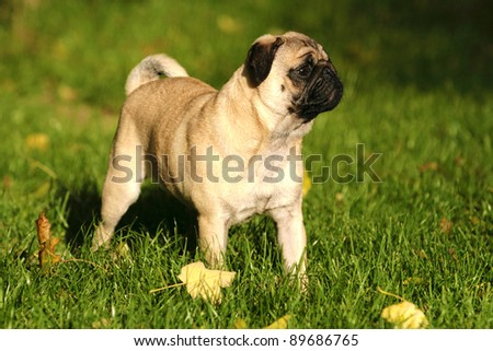 a cute nice looking pug with beautiful expression in his head