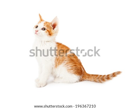 A cute orange and white six week old kitten sitting down to the side - stock photo