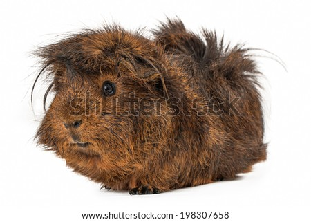 A cute Peruvian Guinea Pig with long brown hair sitting against a white backdrop - stock photo