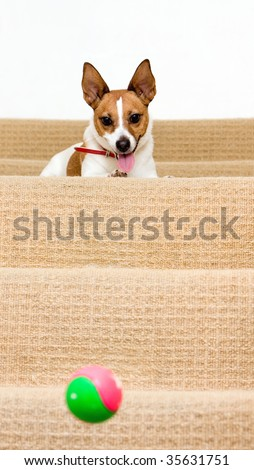 A cute playful Jack Russell terrier watches her ball bounce down a staircase