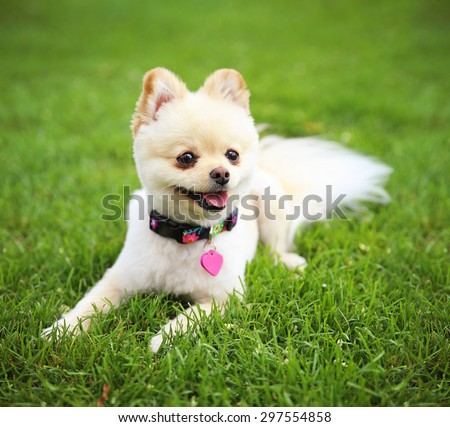 a cute pomeranian puppy dog that has been groomed smiling in a park setting with a pretty collar and tag on - stock photo