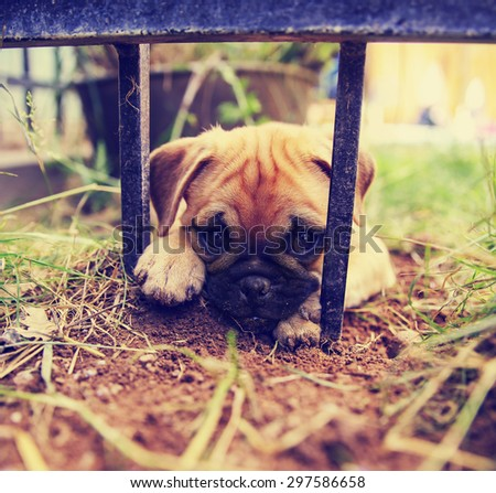 a cute pug chihuahua mix puppy - chug, digging in the dirt under a wrought iron fence in a backyard  - stock photo