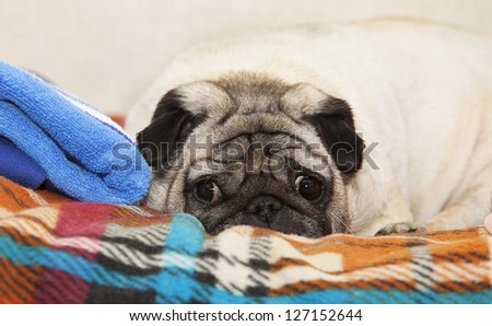 a cute Pug dog lying on a plaid