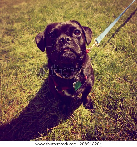 a cute pug toned with a retro vintage instagram filter - stock photo