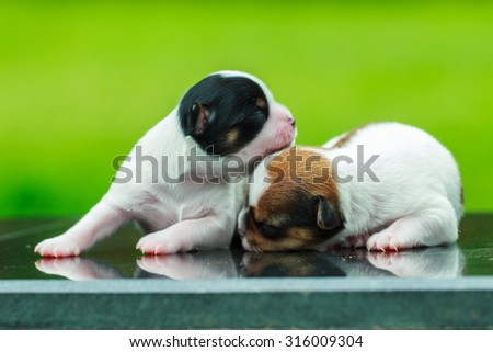 A cute puppy, a dog, a Chihuahua, dog - focus on front - blurred background. - stock photo