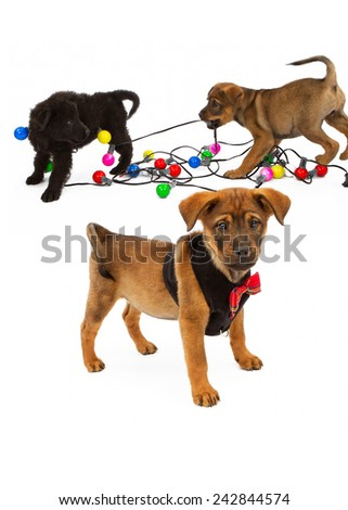 A cute puppy wearing a Christmas outfit with two puppies playing tug-o-war with a strand of lights in the background - stock photo