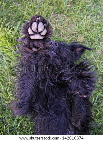 a cute schnauzer - stock photo