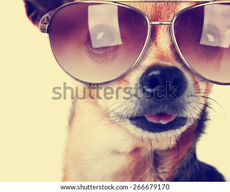 a cute senior chihuahua with his tongue hanging and sunglasses on out toned with a retro vintage instagram filter app or action - stock photo
