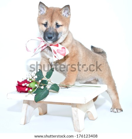 A cute Shiba Inu puppy wearing heart ribbon standing on a stool with a single red rose.