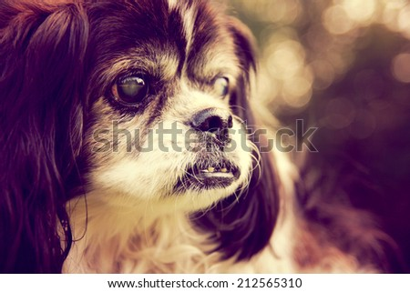 a cute shih tzu enjoying the outdoors on a summer day toned with a retro vintage instagram filter effect  - stock photo