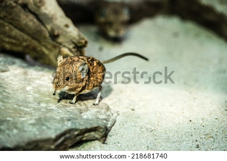A cute short-eared elephant-shrew mouse (macroscalides proboscides) - stock photo