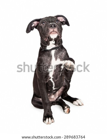 A cute six month old mixed large breed puppy dog raising his paw up to shake hands - stock photo