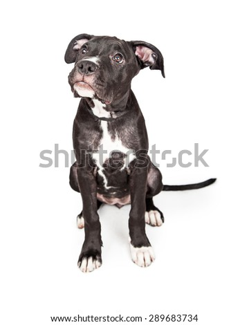 A cute six month old mixed large breed puppy dog sitting and looking up with an attentive expression seeking approval from her owner - stock photo