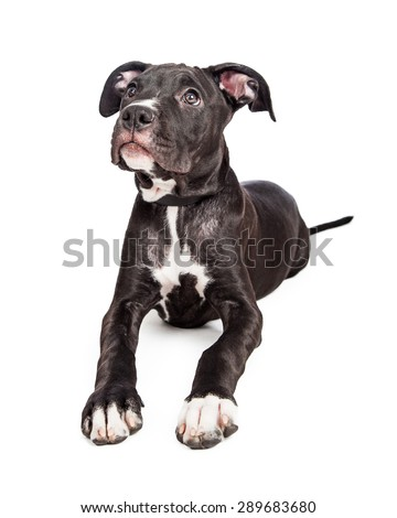 A cute six month old mixed large breed puppy dog with big paws laying down and looking up - stock photo