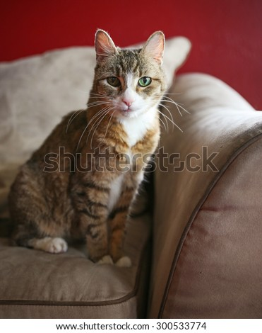 a cute small cat or kitten looking at the camera sitting on a couch or sofa with natural light  - stock photo
