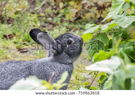 a cute, small, gray rabbit sniffs at a plant in a garden