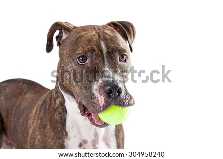 A cute Staffordshire Bull Terrier Dog with a yellow tennis ball in its mouth.  - stock photo