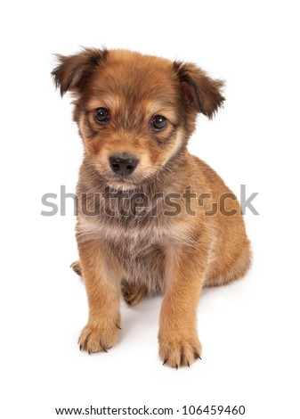 A cute tan color eight week old puppy puppy sitting against a white backdrop - stock photo