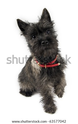 a cute terrier in studio - stock photo
