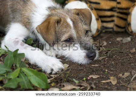 A cute Terrier puppy with a sad face laying down on its paws. - stock photo