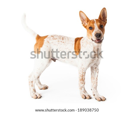 A cute three month old Red Heeler mixed breed puppy standing off to the side with a happy expression on his face.
