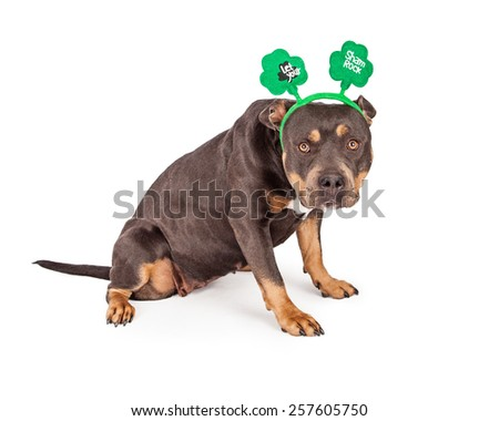 A cute tri-color Pit Bull dog wearing a green St. Patrick's Day Shamrock headband - stock photo