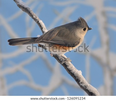 A cute Tufted Titmouse (Baeolophus bicolor) on a snowy branch with blue sky in the background. - stock photo