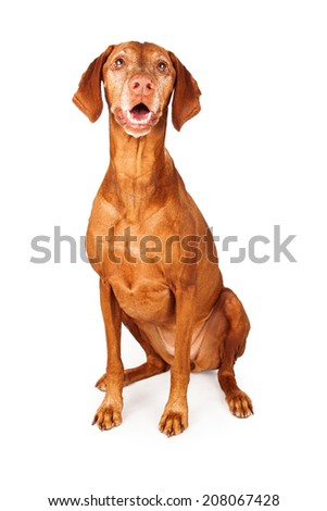 A cute Vizsla dog siting and looking forward with a happy expression