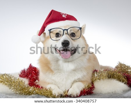 A cute Welsh Corgi posing with a Christmas hat on it's head. Image taken in a studio.
