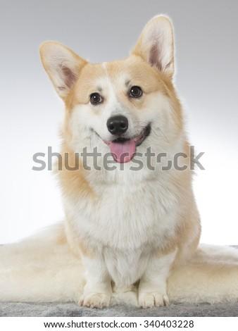 A cute Welsh Corgi puppy posing in a photoshoot. Image taken in a studio. - stock photo