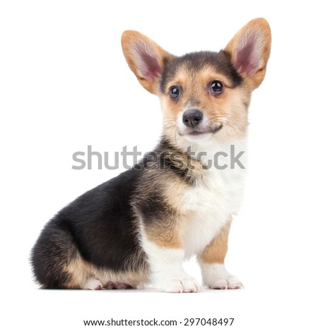 a cute welsh pembroke corgi puppy on an isolated white background